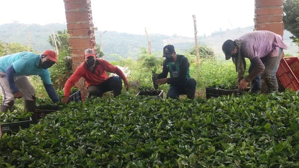 Federación Nacional de Cafeteros entrega almácigos del Nescafé Plan en Abejorral