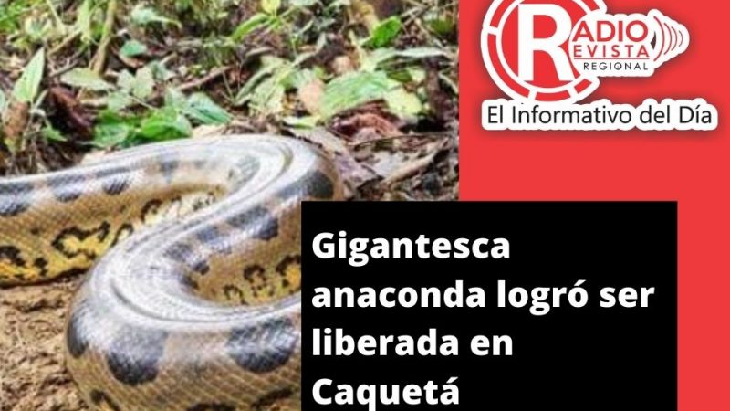 Gigantesca anaconda logró ser liberada en Caquetá