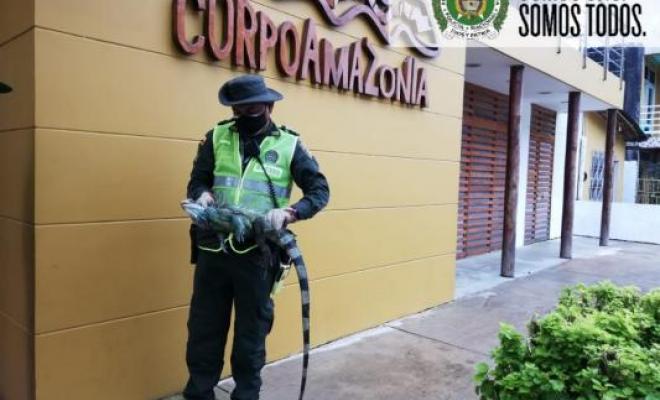 Rescatada iguana maltratada por sujetos en estado de embriaguez