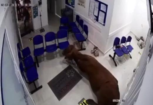 Video: Una vaca ingresa a el hospital de San Luis Antioquia y embiste a pacientes